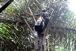 Nigeria's palm wine tappers face stiff competition
