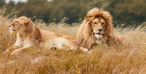 Seven lions shot after killing 10 sheep during escape from reserve