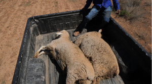 Thief released on parole due to Covid-19 back in jail for stealing sheep